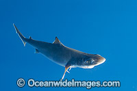 Deep Sea Endeavour Dogfish photo