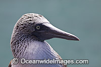 Blue-footed Booby Photo - David Fleetham