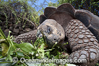 Galapagos Giant Tortoise Photo - David Fleetham