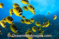 Schooling Butterflyfish Photo - David Fleetham