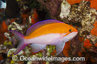 Yellow-backed Basslet Pseudanthias bicolor photo