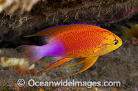 Hawaiian Longfin Basslet Pseudanthias hawaiiensis photo
