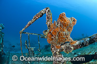 Frogfish on Shipwreck photo