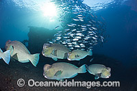 Bumphead Parrotfish and Trevally Photo - David Fleetham