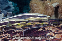 Remora attached to Turtle Photo - David Fleetham