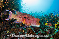 Mexican Hogfish male Photo - David Fleetham