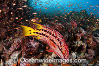 Mexican Hogfish female Photo - David Fleetham