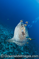 Ocean Sunfish being cleaned Photo - David Fleetham