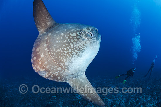 Ocean Sunfish and Divers photo