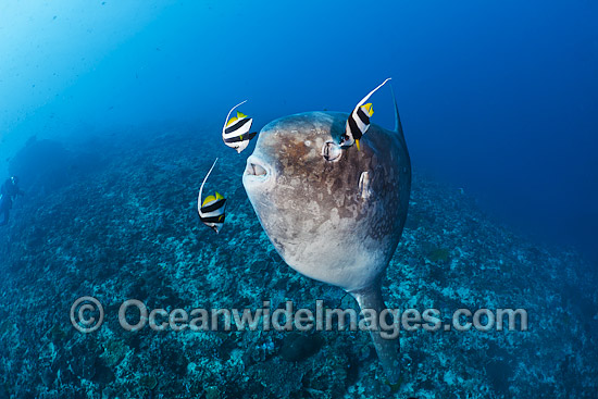 Ocean Sunfish (Mola mola), being cleaned by Longfin Bannerfish. Found in tropical and temperate waters worldwide. Photo taken at Crystal Bay, Nusa Penida, Bali, Indonesia. Within the Coral Triangle.