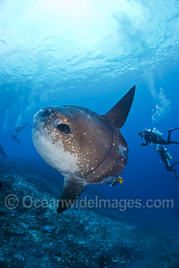 Divers observing an Ocean Sunfish (Mola mola). Found in tropical and temperate waters worldwide. Photo taken at Crystal Bay, Nusa Penida, Bali, Indonesia. Within the Coral Triangle.