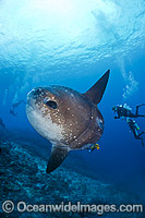 Sunfish and Divers Photo - David Fleetham