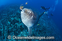 Ocean Sunfish and Divers Photo - David Fleetham
