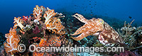 Broadclub Cuttlefish on coral reef photo