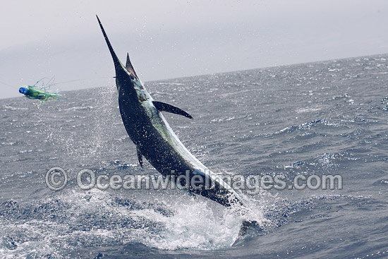 Atlantic Blue Marlin (Makaira nigricans), at the surface after taking a lure bait. Also known as Billfish. Found throughout the Atlantic Ocean. Photo taken off Cape Verde, Western Africa, Atlantic Ocean. Photo - John Ashley