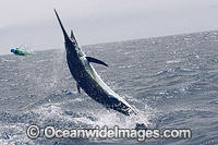 Atlantic Blue Marlin taking bait