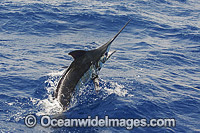 Atlantic Blue Marlin taking a lure Photo - John Ashley