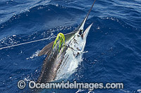 Atlantic Blue Marlin Makaira nigricans Photo - John Ashley