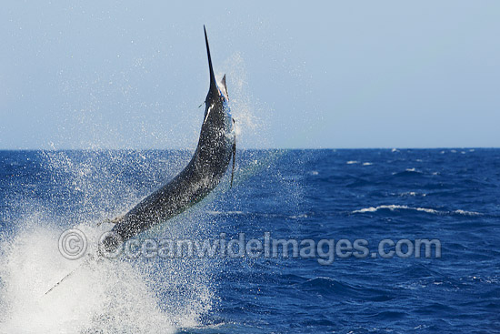 Atlantic Blue Marlin (Makaira nigricans), at the surface after taking a lure bait. Also known as Billfish. Found throughout the Atlantic Ocean. Photo taken off Cape Verde, Western Africa, Atlantic Ocean.