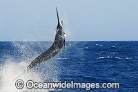Blue Marlin Makaira nigricans Photo - John Ashley