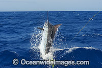 Atlantic Blue Marlin at surface Photo - John Ashley
