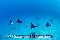 White-spotted Eagle Rays Photo - Gary Bell