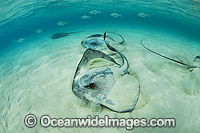Cowtail Stingrays Photo - Gary Bell