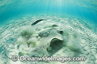 Cowtail Stingray emerging from sand Photo - Gary Bell