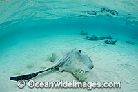 Cowtail Stingray and Pink Whiprays Photo - Gary Bell