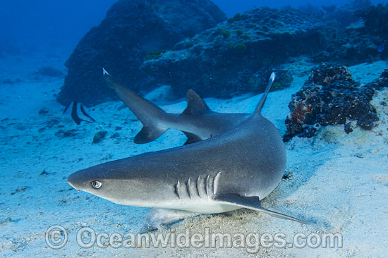 c9d15be378 Whitetip Reef Shark Great Barrier Reef Photo - Gary Bell