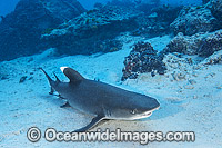 Whitetip Reef Shark Great Barrier Reef Photo - Gary Bell