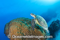 Green Turtle Great Barrier Reef Photo - Gary Bell