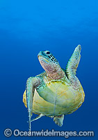 Green Turtle swimming towards surface Photo - Gary Bell