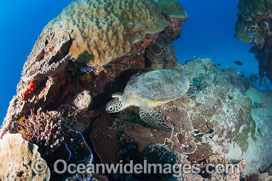 Green Sea Turtle (Chelonia mydas). Found in tropical and warm temperate seas worldwide. Photo taken at Heron Island, Great Barrier Reef, Queensland, Australia. Listed as Endangered Species on the IUCN Red List. Photo - Gary Bell