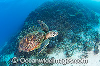 Green Turtle swimming on reef Photo - Gary Bell