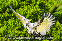 Sulphur-crested Cockatoo flying Photo - Gary Bell