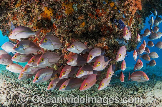 Hussar Snapper (Lutjanus adetii). Found throughout the Great Barrier Reef and New Caledonia. Photo taken at Heron Island, Great Barrier Reef, Australia. Photo - Gary Bell