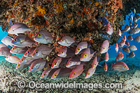 Snapper Great Barrier Reef Photo - Gary Bell