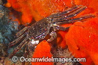 Reef Crab on Sponge Photo - Gary Bell