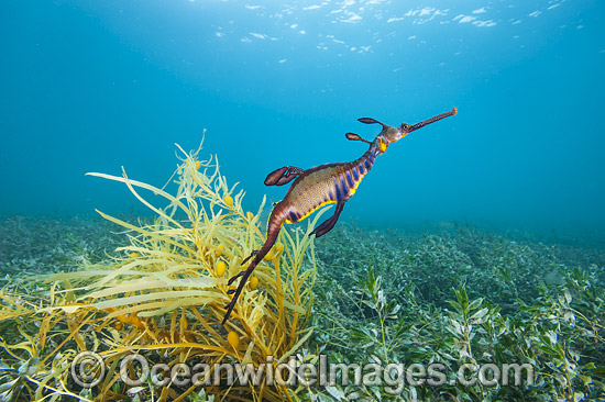 Weedy Seadragon (Phyllopteryx taeniolatus). Found in temperate coastal waters of Australia, from Geraldton, WA, to Port Stephens, NSW, and around Tas. Photo taken in Western Port Bay, Victoria, Australia. Endemic to Australia. Photo - Gary Bell