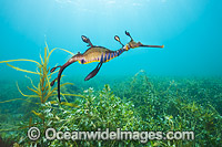 Weedy Seadragon Australia Photo - Gary Bell