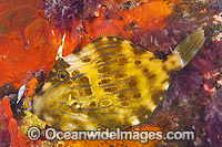 Mosaic Leatherjacket Victoria photo