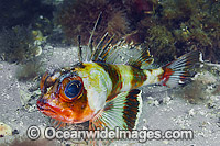 Gurnard Perch photo