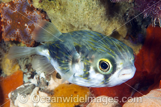 Globefish (Diodon nichthemerus). Also known as Porcupinefish or Pufferfish. Often sighted on sheltered coastal reefs. Photo was taken in Port Phillip Bay, Victoria, Australia.