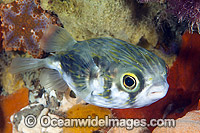 Globefish Victoria Photo - Gary Bell