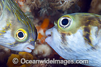 Two Globefish Photo - Gary Bell