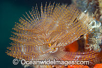 European Fan Worm Sabella spallanzani photo
