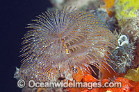 European Fan Worm photo