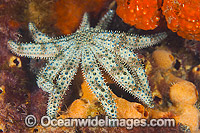 Eleven-arm Sea Star Coscinasterias muricata photo