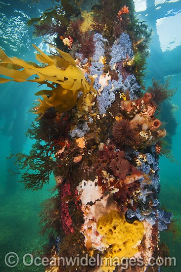 Exquisitely coloured sponges, tunicates, tube worms and algas attached to the timber pylons or pillars of Flinders pier or jetty. Western Port Bay, Victoria, Australia. Photo - Gary Bell
